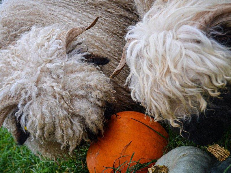 Halloween Sheep