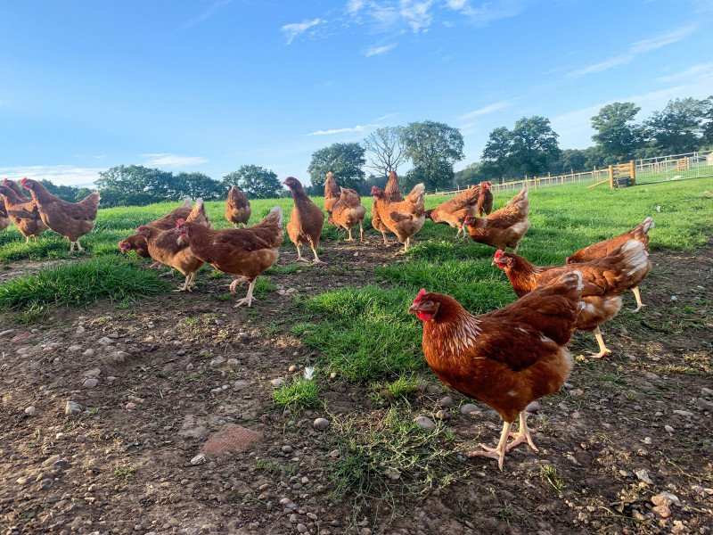 The Free Range Chicken Shed